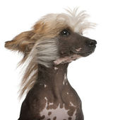 Close-up of Chinese Crested Dog with hair in the wind, 7 years old, in front of white background — Stock Photo