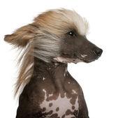 Detail čínských chocholatých psů s vlasy ve větru, 7 let, před bílým pozadím — Stock fotografie