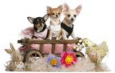üç chihuahuas, 1 yaşında, beyaz arka plan önünde paskalya doldurulmuş hayvanlarla 8 ay yatak oturan yaşlı ve 5 aylık köpek vagon — Stok fotoğraf