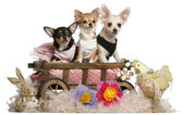 Three Chihuahuas, 1 year old, 8 months old, and 5 months old, sitting in dog bed wagon with Easter stuffed animals in front of white background — Стоковое фото
