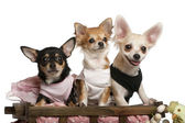 Three Chihuahuas, 1 year old, 8 months old, and 5 months old, sitting in dog bed wagon in front of white background — Stok fotoğraf