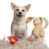 Mixed-breed dog, 8 years old, sitting with stuffed animal and flowers in front of white background — Stock Photo