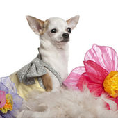 Chihuahua, 1 year old, sitting among flowers in front of white background — Stock Photo