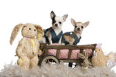 Chihuahuas wearing denim, 1 year old and 11 months old, sitting in dog bed wagon with stuffed animals in front of white background — Stock Photo