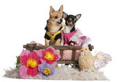 Chihuahuas, 5 years old and 3 years old, dressed up and sitting in dog bed wagon in front of white background — Stock Photo