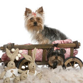 Two Yorkshire Terriers, 5 and 9 months old, with dog bed wagon and Easter stuffed animals in front of white background — Stock Photo