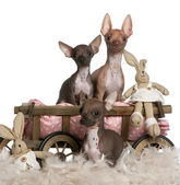 Three Chihuahuas, 6 and 7 months old, with dog bed wagon and Easter stuffed animals in front of white background — Stock Photo