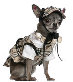 Chihuahua dressed in plaid outfit sitting in front of white background — Stock Photo