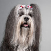 Close-up of Lhasa Apso wearing hairbows, 2 years old, in front of grey background — Stock Photo