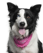 Close-up of Border Collie wearing pink handkerchief, 2 years old, in front of white background — Stock Photo