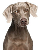 Close-up of Weimaraner, 12 months old, in front of white background — Stock Photo