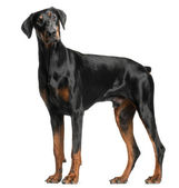 Dobermann, 13 mois, debout devant le fond blanc — Photo