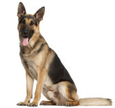 German Shepherd Dog, 2 years old, standing in front of white background — Stock Photo