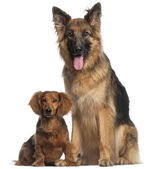 Dachshund, 8 years old, and German Shepherd Dog, 2 and a half years old — Stock Photo