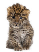 Amur leopard cub, Panthera pardus orientalis, 6 weeks old, in front of white background — Stock Photo