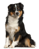 Miniature Australian Shepherd, 2 years old, sitting in front of — Stock Photo