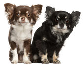 Chihuahuas, 1 and 2 years old, in front of white background — Stock Photo