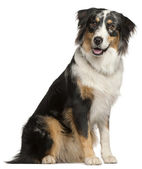 Border Collie, 9 months old, sitting in front of white backgroun — Stock Photo