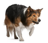 Male Border Collie, 3 years old, standing in front of white back — Stock Photo