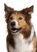 Close-up of Male Border Collie, 3 years old, in front of white b — Stock Photo