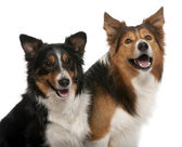 Close-up of Male Border Collie, 7 years old, Female Border Colli — Stock Photo