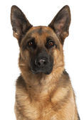 Close-up of German Shepherd Dog, 4 years old, in front of white — Stock Photo