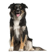 Australian Shepherd dog, 1 year old, sitting in front of white b — Stock Photo
