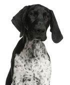 Close-up of German Shorthaired Pointer puppy, 4 months old, in f — Stock Photo
