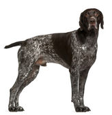 German Shorthaired Pointer, 3 years old, standing in front of wh — Stock Photo