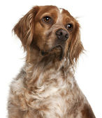 Close-up of Brittany dog, 3 years old, in front of white backgro — Stock Photo