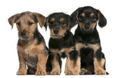 Chiots de races mixtes, 8 semaines, en face de fond blanc — Photo