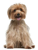 Yorkshire Terrier, 14 years old, sitting in front of white backg — Stock Photo