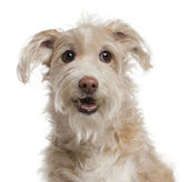 Close-up of Mixed-breed dog, 14 years old, sitting in front of w — Stock Photo