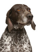 Close-up of German Shorthaired Pointer, in front of white backgr — Stock Photo