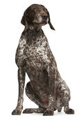 German Shorthaired Pointer, sitting in front of white background — Stock Photo