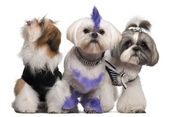 Group of dressed and groomed Shih-tzu's in front of white background — Stock Photo