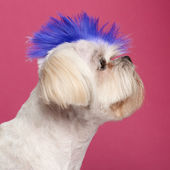 Close-up of Shih Tzu with blue mohawk, 2 years old, in front of — Stock Photo