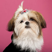 Close-up of Shih Tzu, 5 months old, in front of pink background — Stock Photo