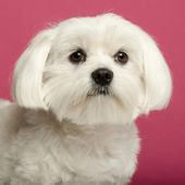 Close-up of Maltese, 2 years old, in front of pink background — Stock Photo