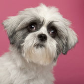 Close-up of Mixed-breed dog, 1 year old, in front of pink backgr — Foto Stock