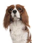 Close-up of Cavalier King Charles Spaniel, 1 year old, in front — Stock Photo