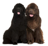 Newfoundland puppies, 5 and 30 months old, sitting in front of w — Stock Photo