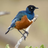 Superb Starling, Lamprotornis superbus, in Serengeti National Pa — Stock Photo
