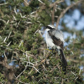 Grey-backed Fiscal, Lanius excubitoroides, at the Serengeti National Park, Tanzania, Africa — Stock Photo