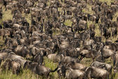 Herd of Wildebeest at the Serengeti National Park, Tanzania, Africa — Stock Photo