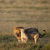 Lion and Lioness at the Serengeti National Park, Tanzania, Africa — Stock Photo