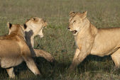 Lioness playing together at the Serengeti National Park, Tanzania, Africa — Stock Photo