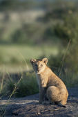 Lion cub at the Serengeti National Park, Tanzania, Africa — Stock Photo