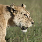 Close-up van leeuwin op de serengeti national park, tanzania, afrika — Stockfoto