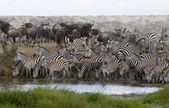 Zebras drinking at the Serengeti National Park, Tanzania, Africa — Stock Photo